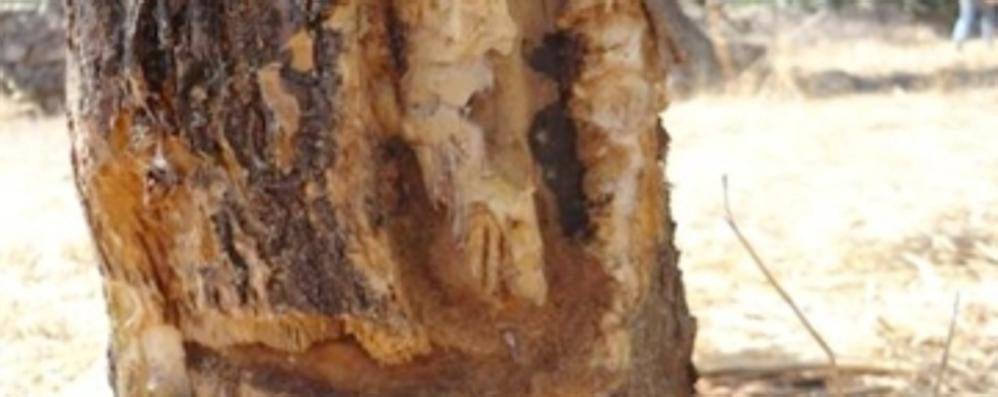 Batterio killer degli ulivi e delle viti  Le analisi nei laboratori di Minoprio