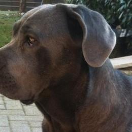 Polpette avvelenate nel giardino  Olgiate, caccia al  killer dei cani