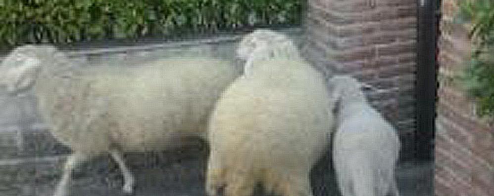 Cantù, smarrite dal gregge. Caccia alle pecore