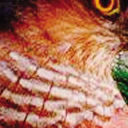 Il salvataggio del falco ferito  «Preso a calci per la strada»