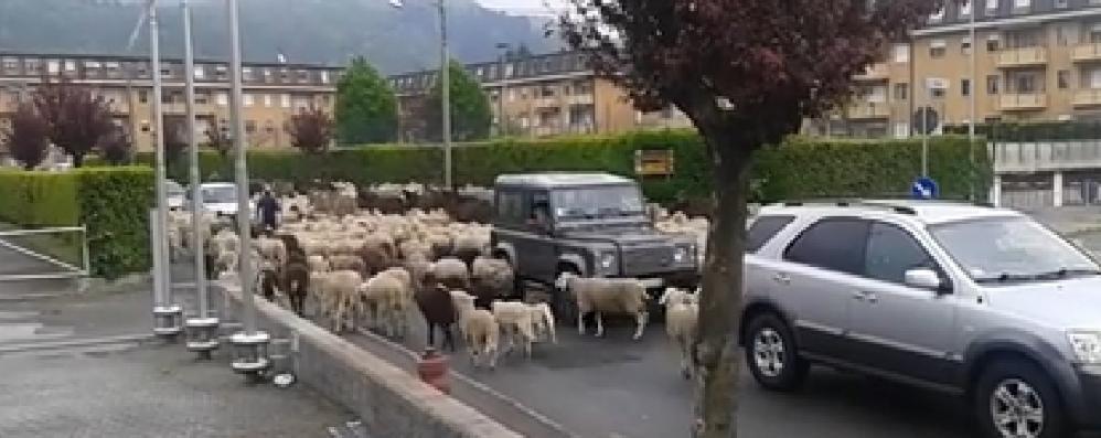 Pecore a spasso per Tavernerio