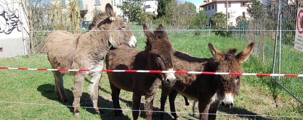Caccia a tre asinelli in fuga  Notte insonne a Ronago