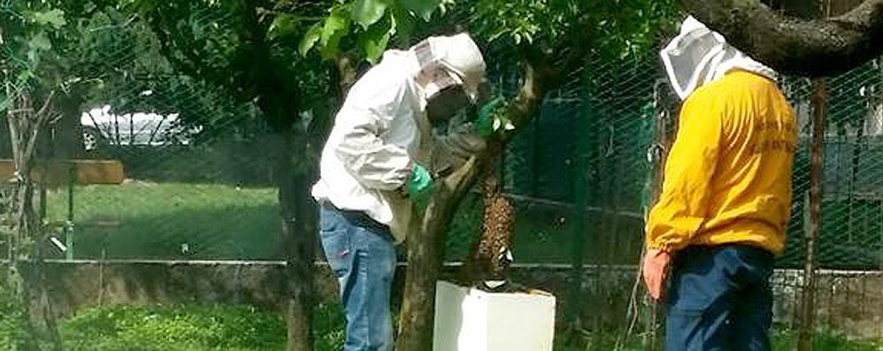 Allarme api nel Canturino  Quindici interventi al giorno