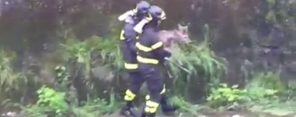 Como, capriolo nel Cosia  Un pompiere lo prende in braccio   Il video del salvataggio