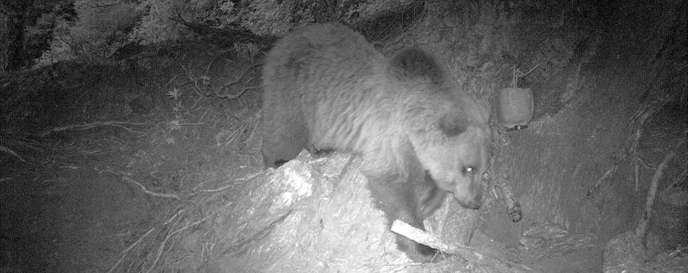 In Valtellina torna l'orso. Ed è paura