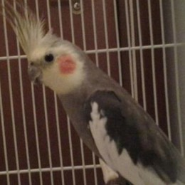 Merone, un pappagallo in giardino  «Il padrone si faccia avanti»