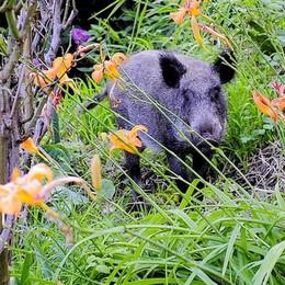 Cinghiale nel giardino a Sagnino  Ha attraversato via Bellinzona