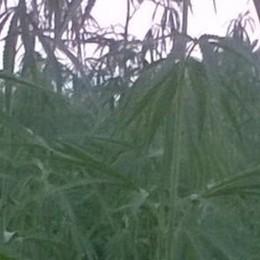 Assalto al campo per il falso spinello  La canapa scambiata per marijuana