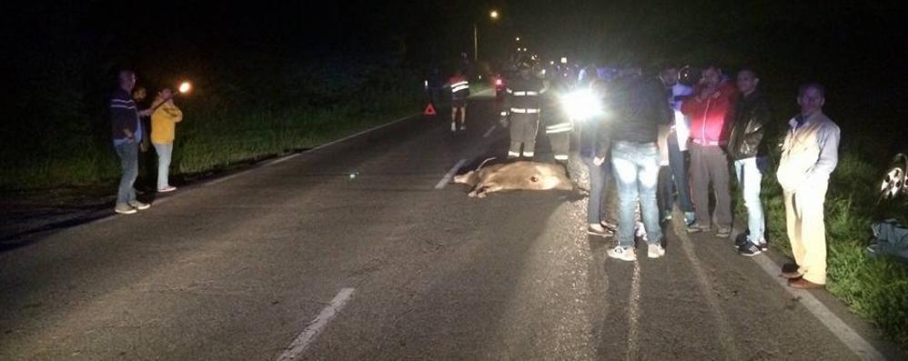 Mozzate, cervo sulla Provinciale. Travolto e ucciso da un'auto