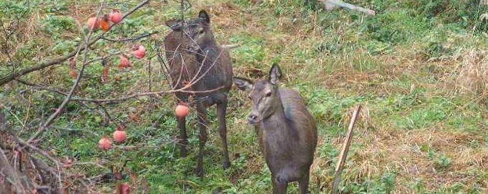 Bambi in giardino a Laglio  Fermi nel prato per la foto ricordo