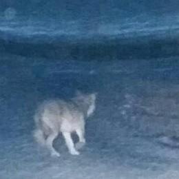 Un lupo sbuca davanti all'auto  Nuovo allarme in Val Cavargna