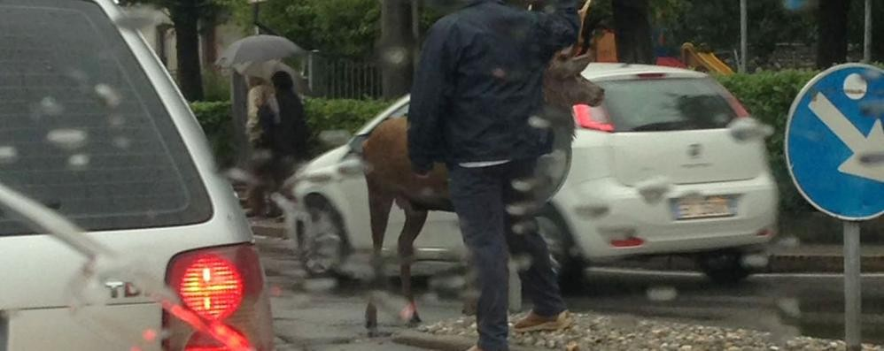 Cervo in fuga tra le auto  nel centro di Carlazzo