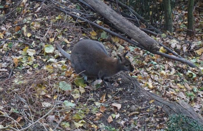 Uno dei wallaby presenti sull'isola