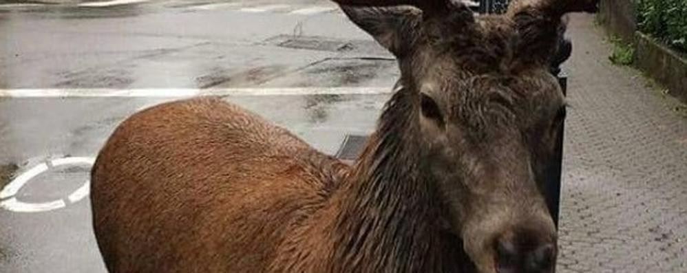 Mosè, il cervo che va a spasso in paese  «Non sa resistere, lo porteremo via»