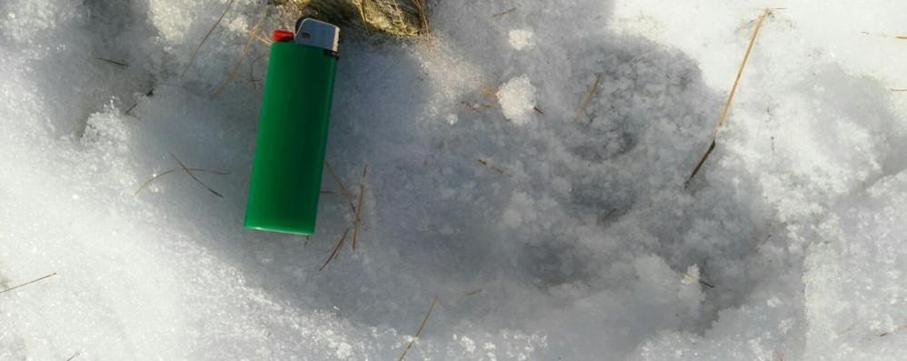 Impronte nella neve. «L'orso è ritornato  Forse è in Valmalenco»
