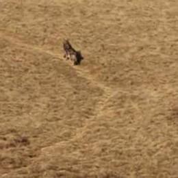Capre sbranate, lupo sotto accusa  Scatta l'allarme in Val Cavargna