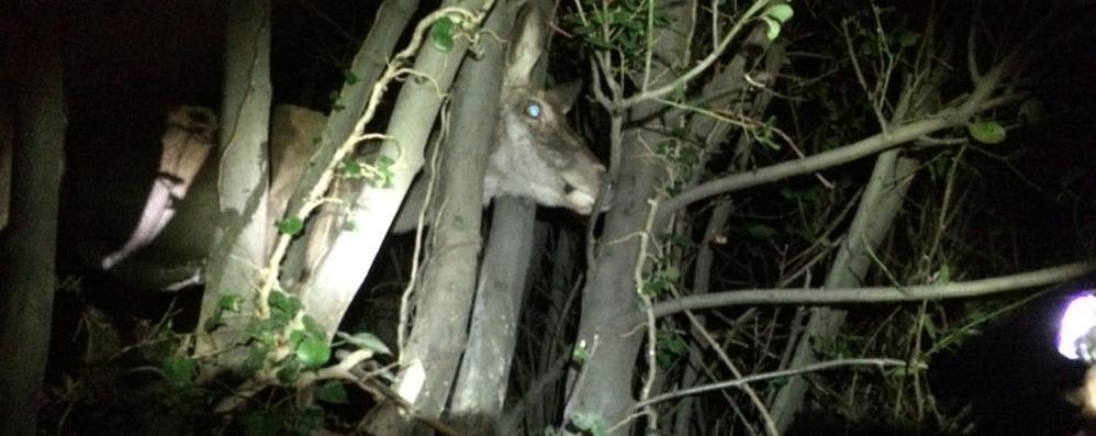 Cervo incastrato nei boschi  Salvato dalla Polizia provinciale
