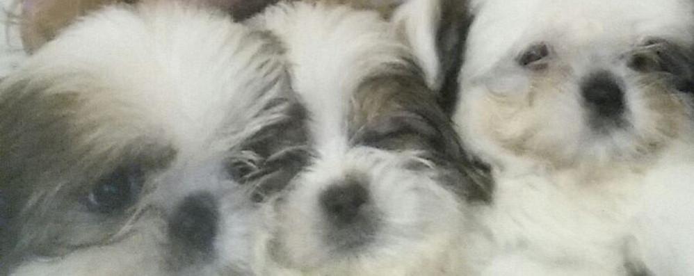 Cuccioli sequestrati a Olgiate   Tornati a casa dopo due mesi