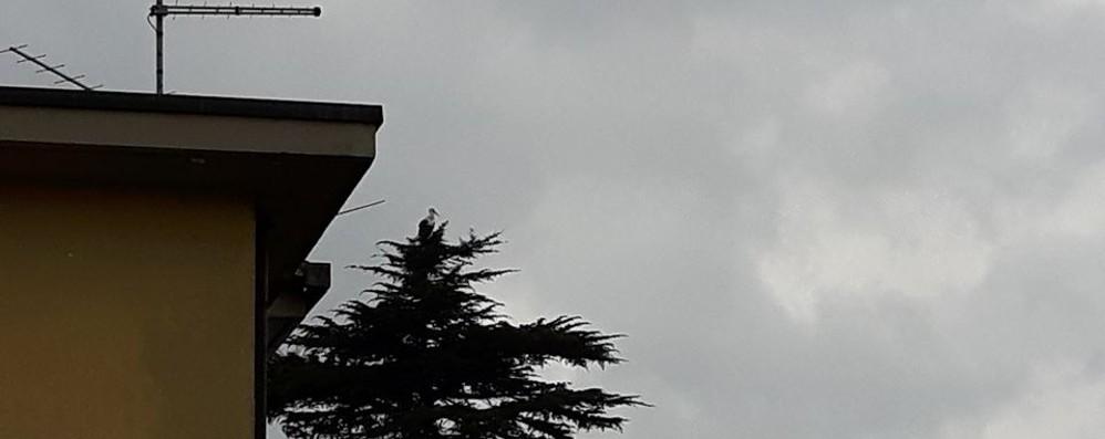 """Una cicogna """"burlona"""" a Binago  Riposa davanti a casa del cacciatore"""