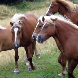 Ritornano in Valle d'Intelvi  I cavalli del Bisbino