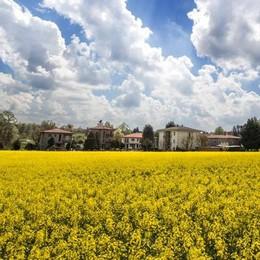 A Beregazzo una distesa di giallo   Sono i campi di colza in fiore