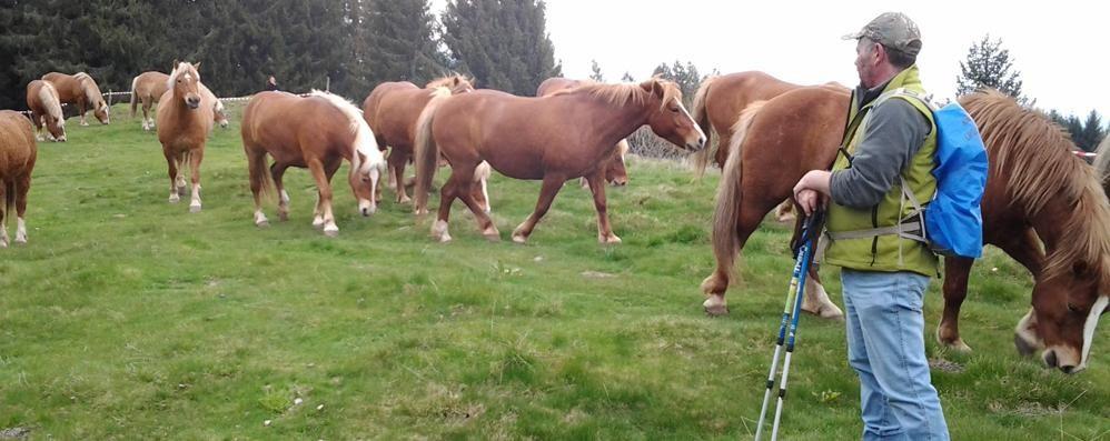 Transumanza riuscita  I cavalli del Bisbino sul Generoso