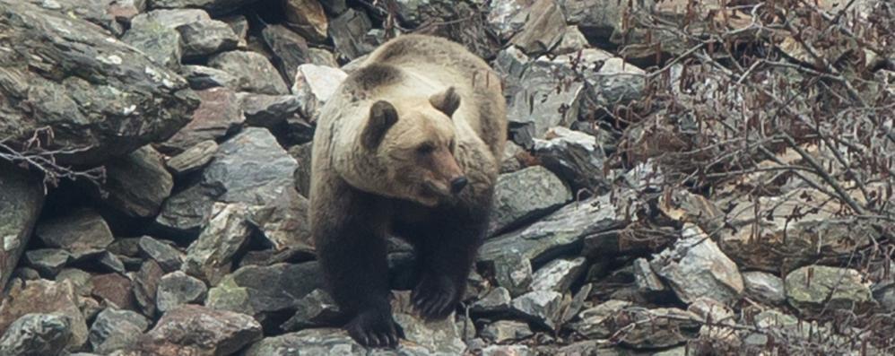 «Che emozione a Verceia  Fotografare quell'orso»