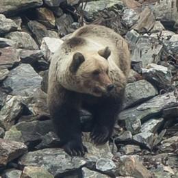 L'orso affascina Van De Sfroos  «Fauna celtica, un altro mondo»