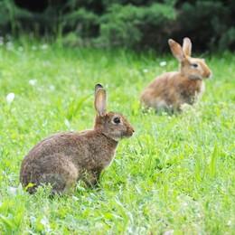 Sorpresa nel prato di Rebbio  Una colonia di coniglietti