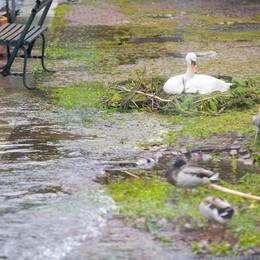 Appello per il nido dei cigni  «Va protetto dal lago che sale»