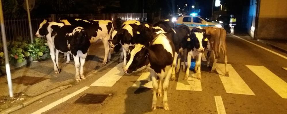 Beregazzo, mucche in fuga per strada  Quasi un rodeo di notte per catturarle