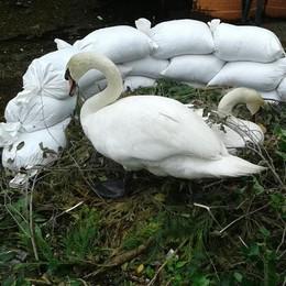 Il lago minaccia il nido  Una barriera per i cigni
