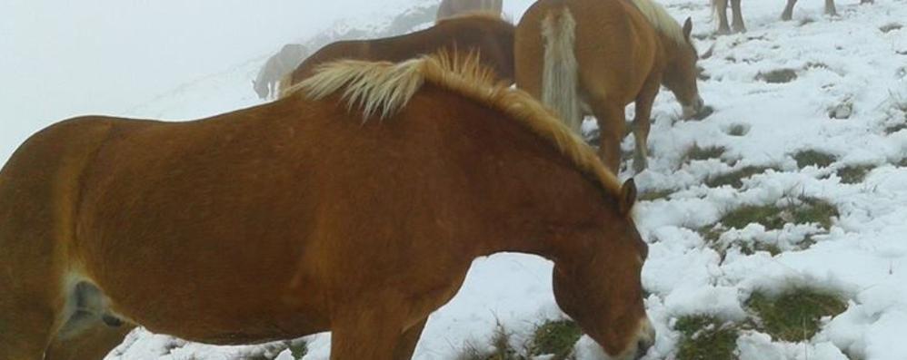 Cavalli del Bisbino  si adattano anche alla neve