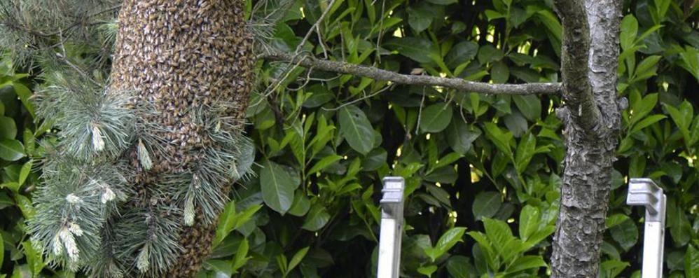Cantù, invasione di api  In 4 giorni ottanta chiamate