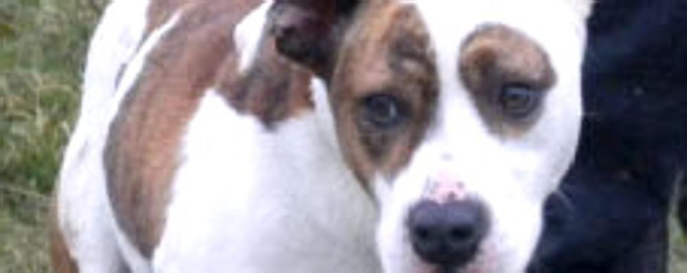 Lurate, bimbo  azzannato da un  cane  Ricoverato con ferite al volto e al braccio