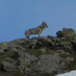 Torna l'allarme lupo in Valtellina   Supera il recinto e sbrana tre pecore