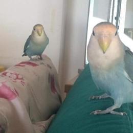 Fierobecco, il pappagallo  che sta morendo per amore