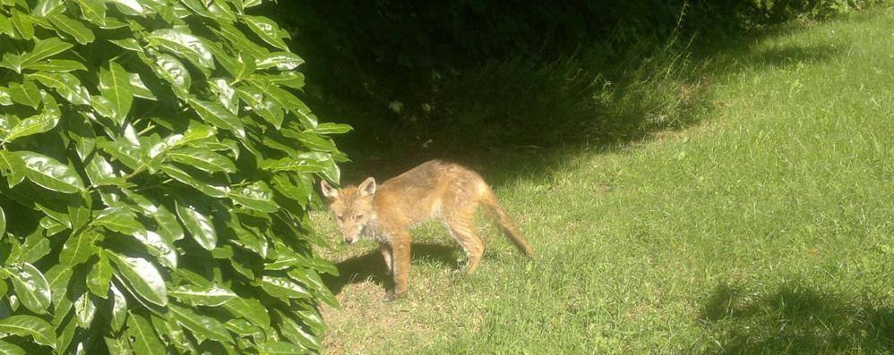 Trovata una volpe morta in strada «Forse è stata uccisa da una malattia»