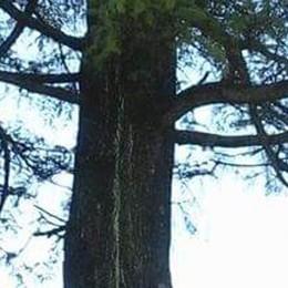 Fenegrò, da tagliare il cedro malato   Ma il tronco diventerà una scultura