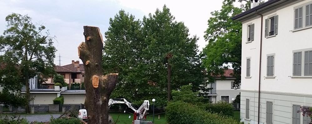 Arosio, il cedro centenario non c'è più  Era stato piantato 183 anni fa
