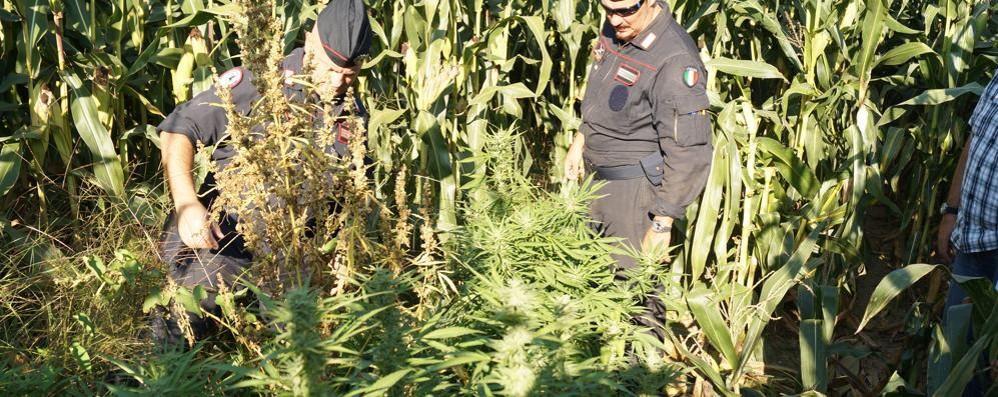 Cantù, scoperta a Fecchio una coltivazione di marijuana