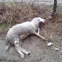 «Massacrò 44 pecore per gelosia»  Faloppio, a processo per la mattanza