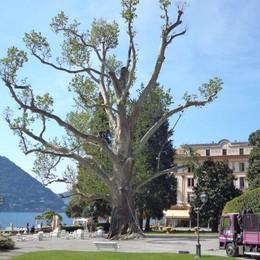 Addio al platano malato  Da più di 200 anni  nel parco di Villa d'Este