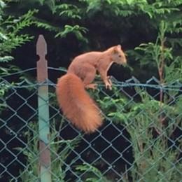 «Attenzione, scoiattoli sulla strada»  Carimate cerca di fermare la strage