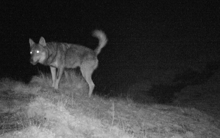 L'allarme: altro lupo al confine svizzero  Si teme la discesa in Val Cavargna