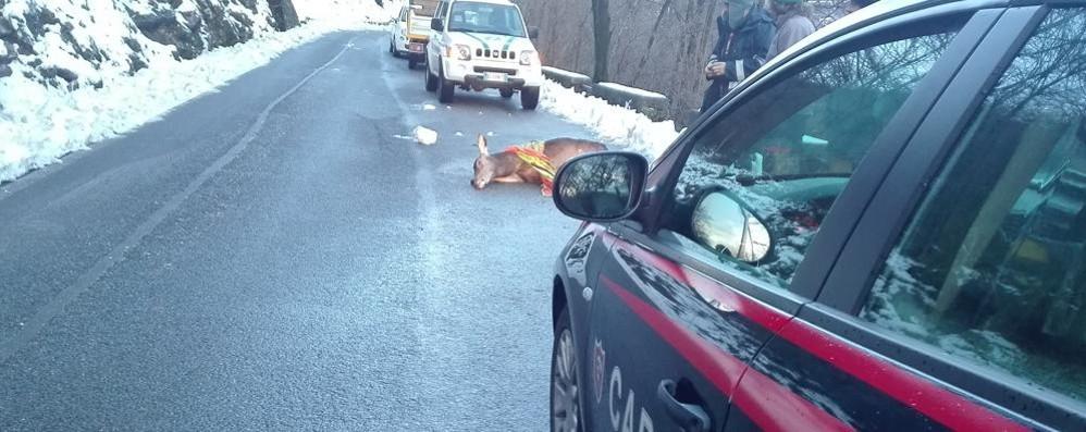 Argegno, contro con un cervo  È il quinto caso in 10 giorni