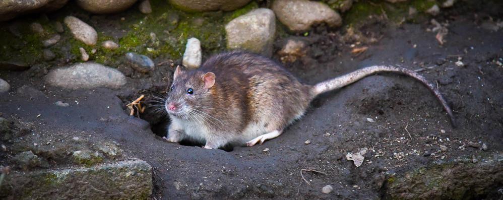 Como,  un'invasione di topi  A due passi dalla piazza