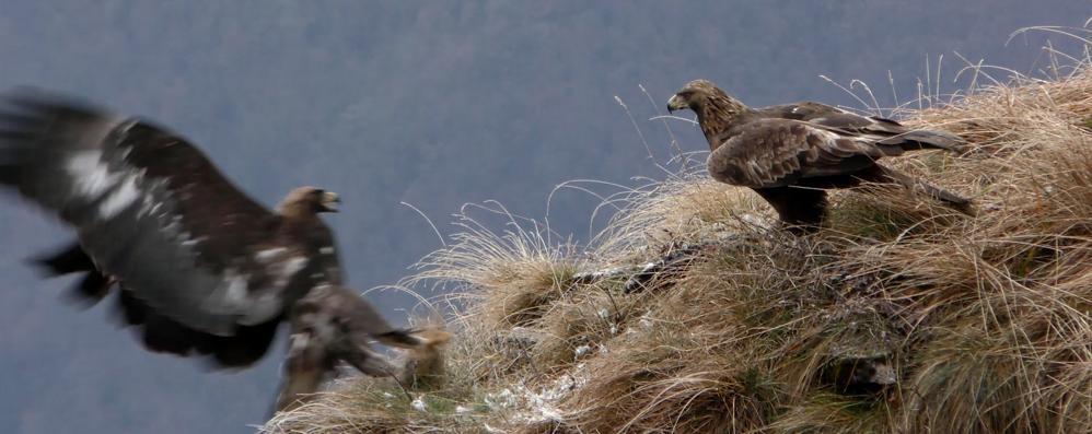 Le aquile del Monte Generoso  Spettacolo in Valle Intelvi.  Ecco il video  qui