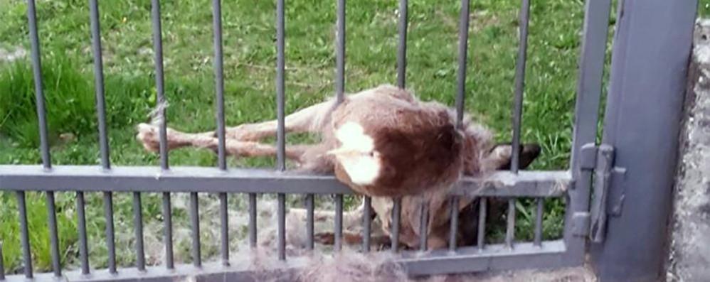 Incastrato nel cancello   muore un capriolo