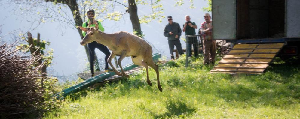 Il cervo catturato a Olgiate  ora è libero sul Bisbino